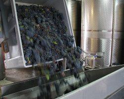 Verarbeitung der Trauben im Weingut Stadler