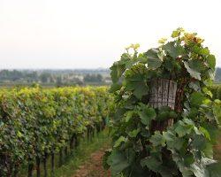 Weingärten Weingut Stadler